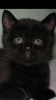 Котёнок шотландский Страйт