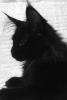 Котята породы мейн - кун