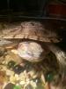 Продам черепаху красноухую с аквариумом