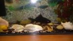 Золотые рыбки 2штуки